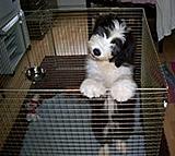beardiedog