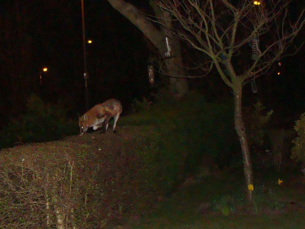 Fox on my Hawthorn hedge