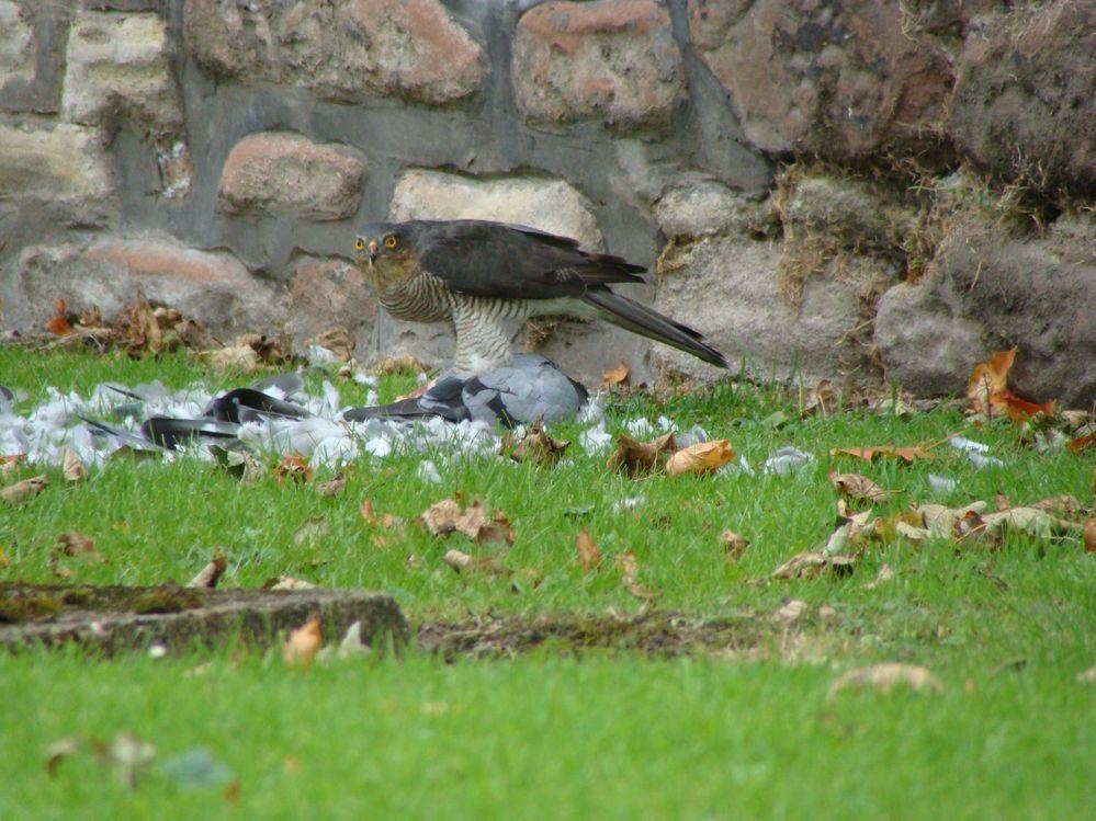 Sparrowhawk with Pidgeon (3)