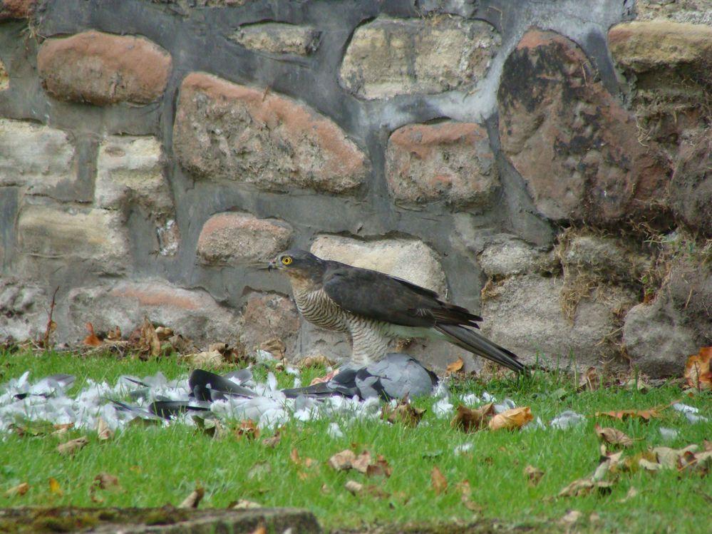 Sparrowhawk with Pidgeon (4)