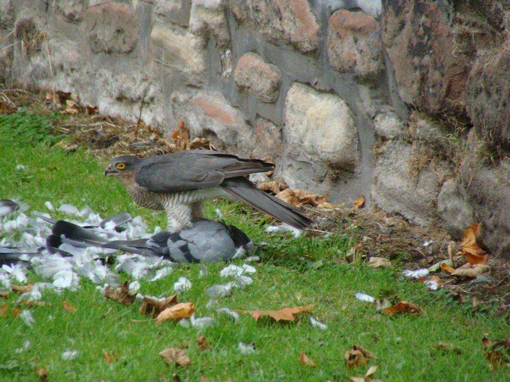 Sparrowhawk with Pidgeon (2)