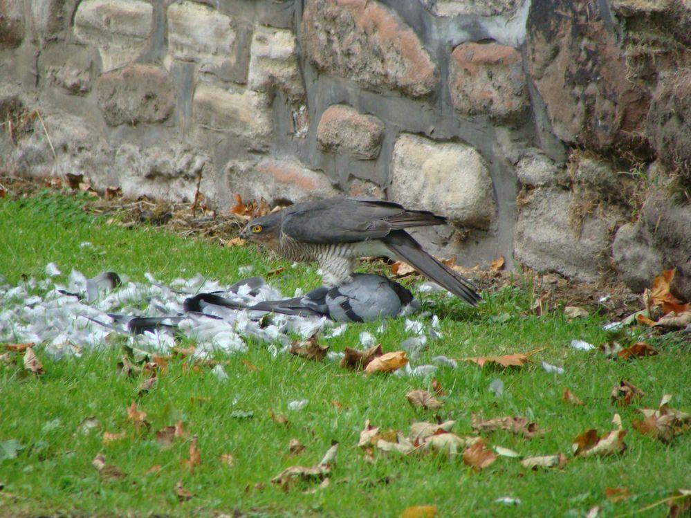 Sparrowhawk with Pidgeon (1)