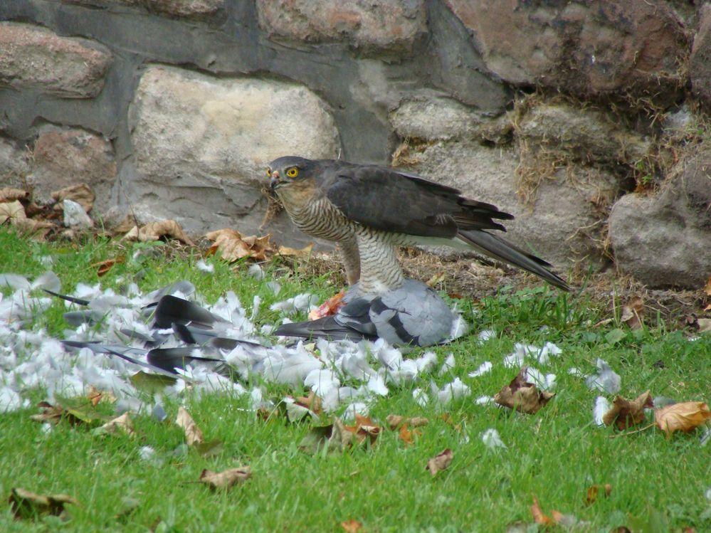 Sparrowhawk with Pidgeon (5)