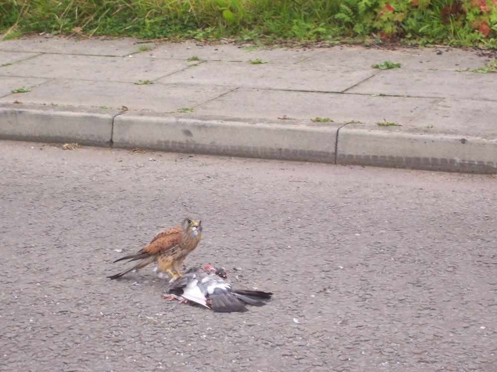 Kestrel on pigeon