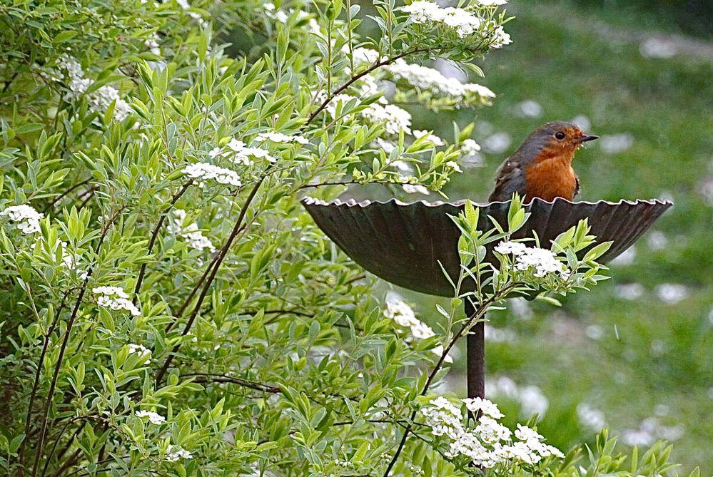 Bird Robin 05 copy.jpeg