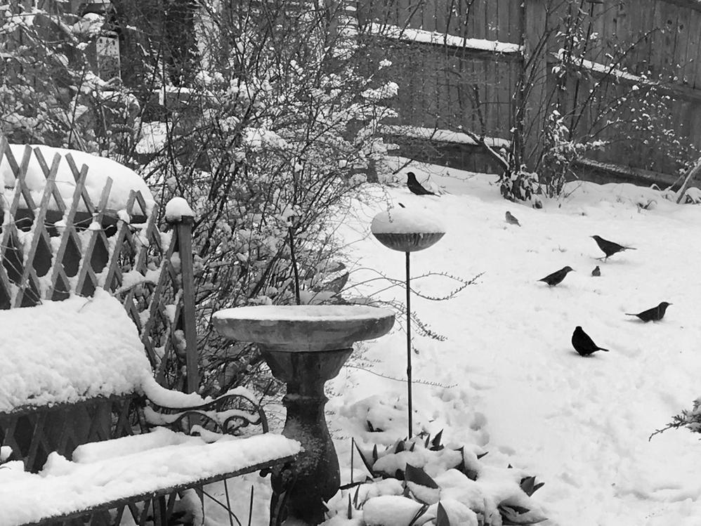 Bird Blackbirds Snow 2018 copy.JPG