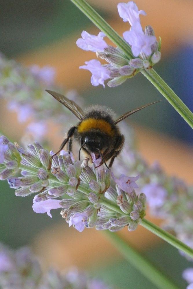 Bee Lavender.jpg