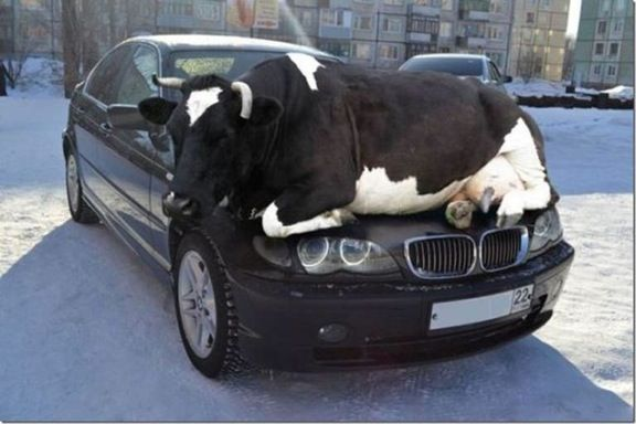 Cow on BMW.jpg