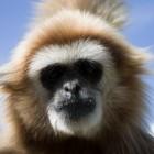 Funky-Gibbons