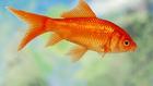 Goldfish1